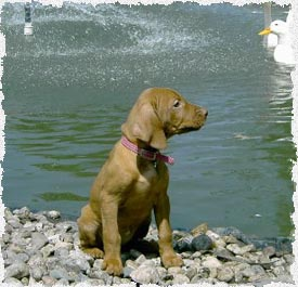 A Cute Vizsla Puppy by our Pond